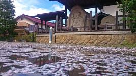 新屋公民館前の散った桜