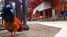 穂高神社境内のチャボ