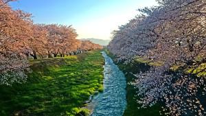 黒沢川の早朝の朝日を浴びる桜