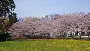 桜と菜の花と常念岳