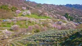 陸郷の山桜
