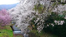 用水路の桜