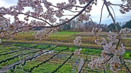 桜とワサビ田