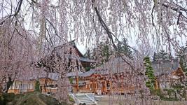 宗徳寺の枝垂桜
