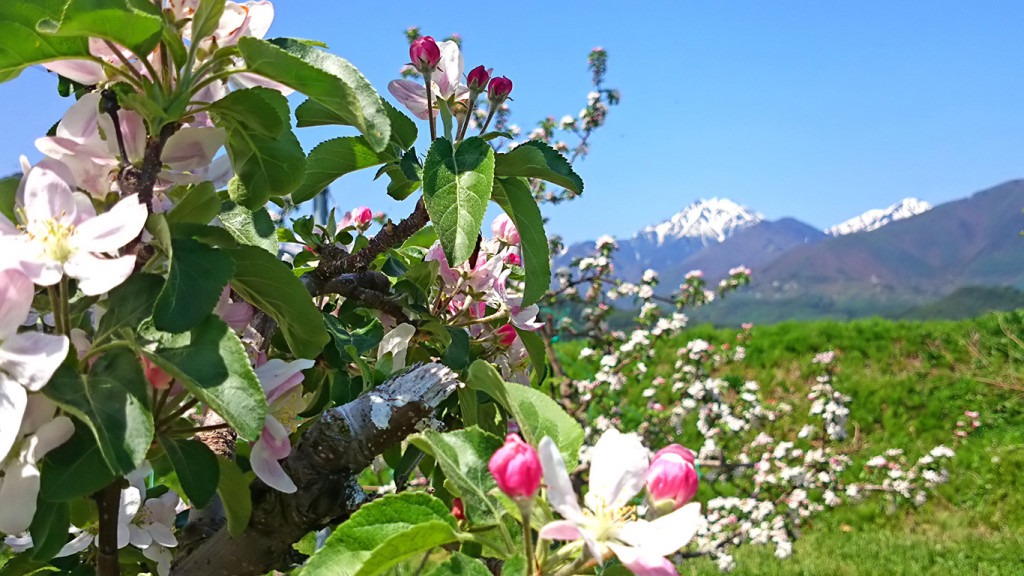 りんごの花と常念岳