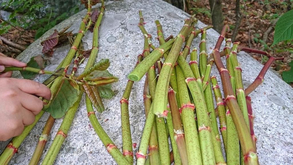 イタドリの茎