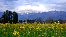 常念岳と菜の花