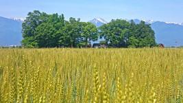 小麦畑と屋敷林、そして常念岳