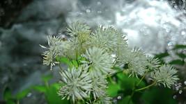 ミヤマカラマツの花