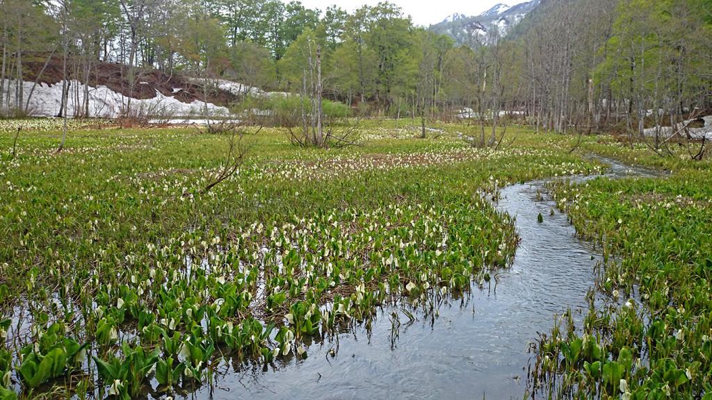 奥裾花自然園の水芭蕉1