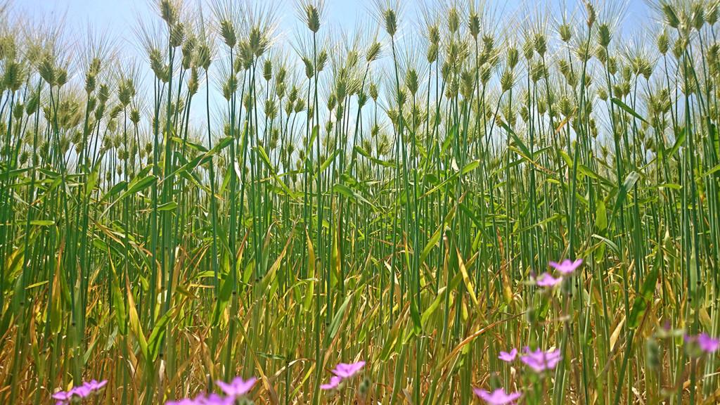 穂高の麦畑