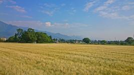 色づく大麦畑