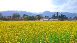 菜の花と有明山