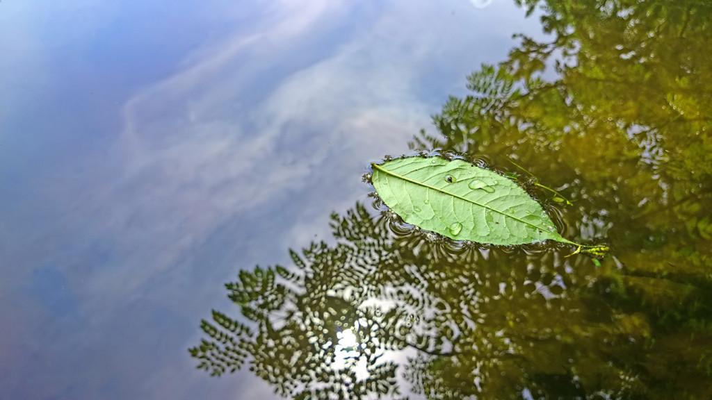 池の上を流れる葉っぱ