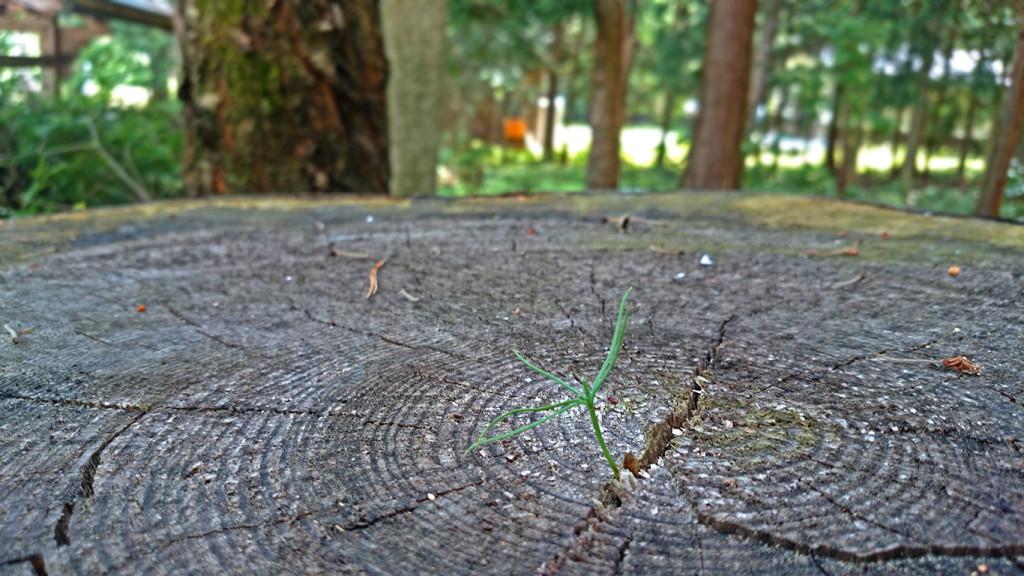 大きな松の切り株と松の芽