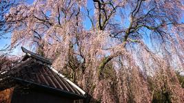 多田井観音堂の桜