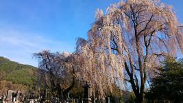 多田井地区の枝垂桜