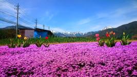 蝶ヶ岳と芝桜