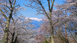 鵜山の桜と大天井岳