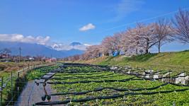 ワサビ田と桜と有明山