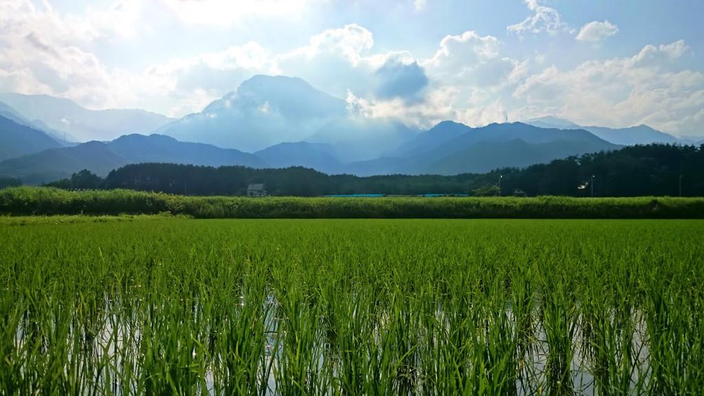 初夏の田んぼと有明山