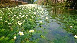 梅花藻の花