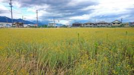 一面に咲くハハコグサ(母子草)