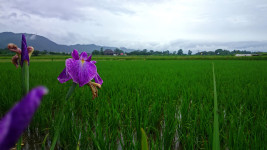 雨の田んぼと花菖蒲