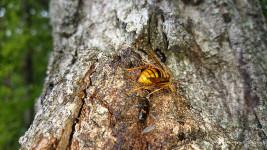 ヨツボシケシキスイとハチ