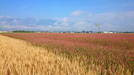 イヌタデに侵入された小麦畑