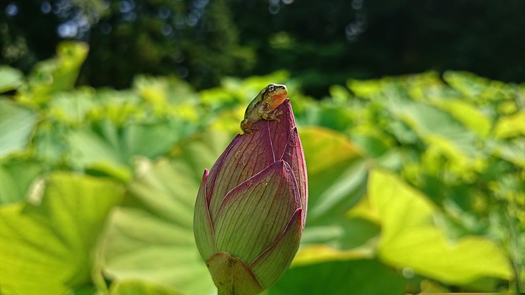 蓮の蕾と蛙2