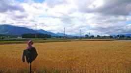 案山子と麦畑