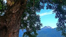常念岳と久保田公園の柳の大木1
