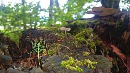 木の切り株から目を出す松の芽