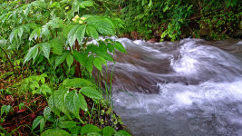川べりに生えるウワバミソウ