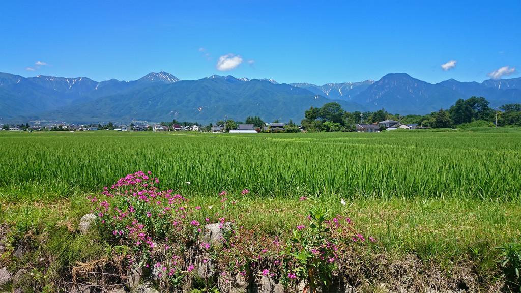 ムシトリナデシコに蝶が舞う田んぼの土手から見た常念岳と有明山