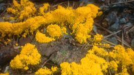 黄色い粘菌