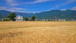大麦畑と常念岳と青空