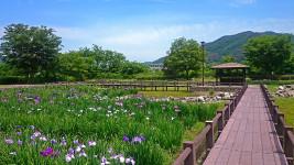 龍門渕公園の花菖蒲