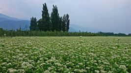蕎麦畑とポプラ