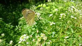 セリの花とスジグロシロチョウ