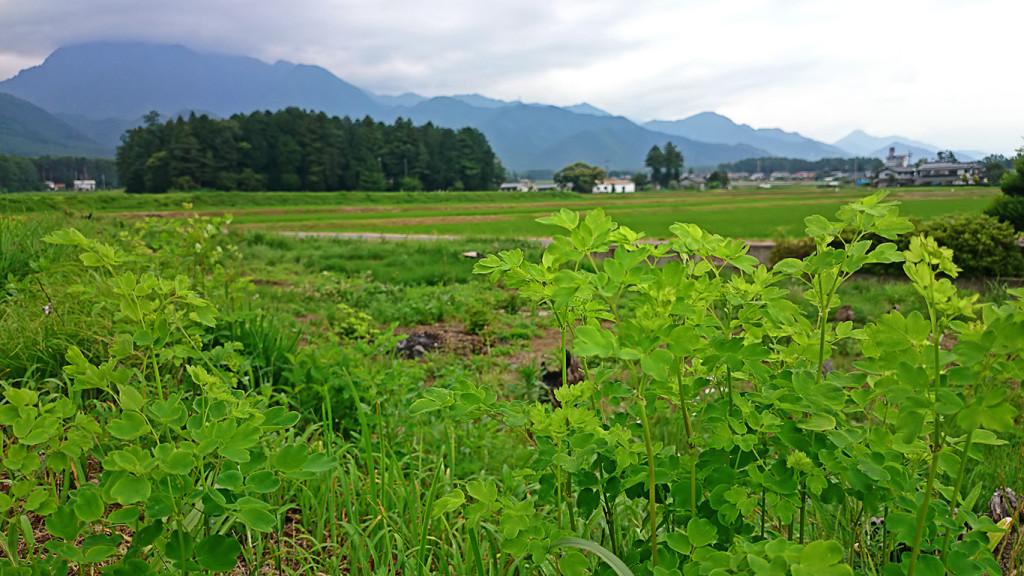 新緑の高遠草(アキカラマツ)