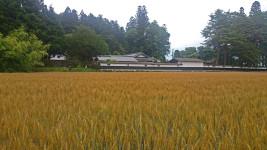 大庄屋山口家と小麦畑