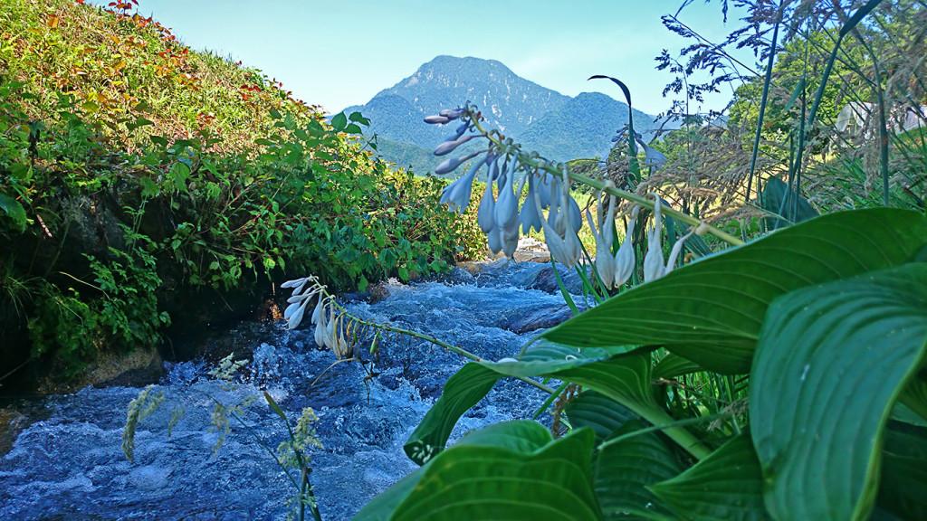 オオバギボウシの花と有明山 油川にて