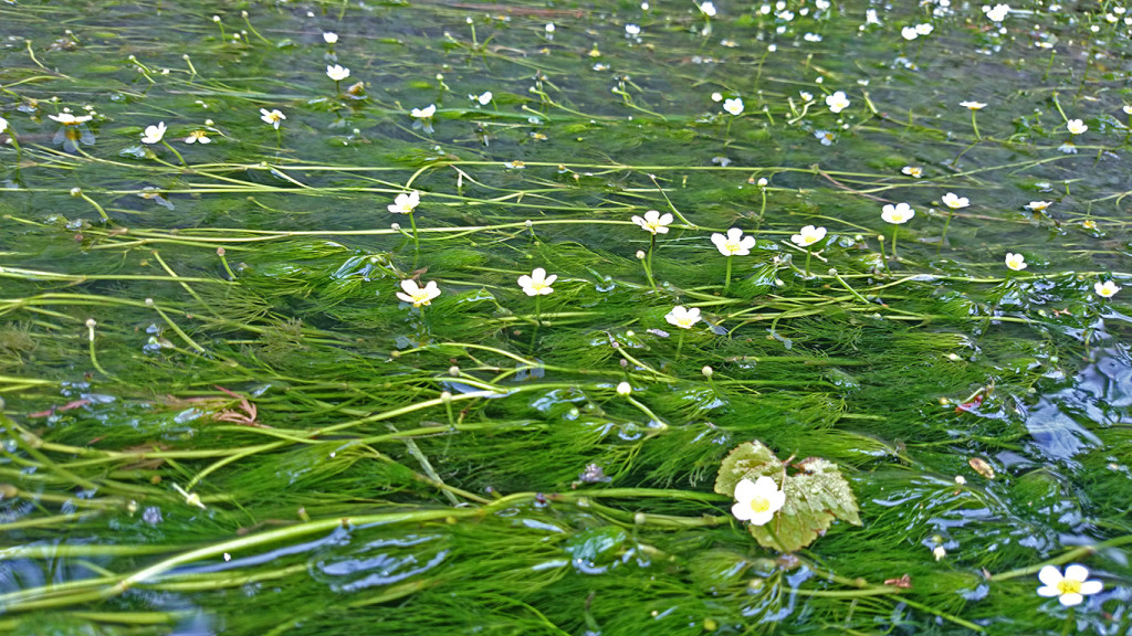 梅花藻の花1