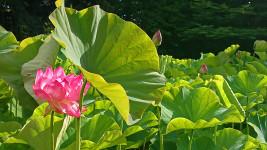 青原寺の大賀ハスの花
