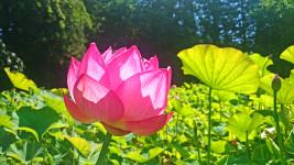 光に透ける青原寺の蓮の花