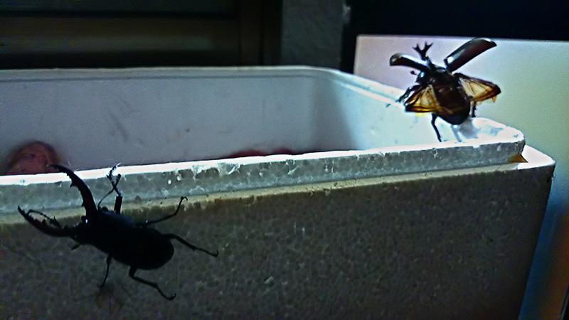 飛ぶ カブトムシ メス