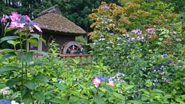 松尾寺のガクアジサイと水車小屋1