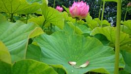 蓮の花と花びら